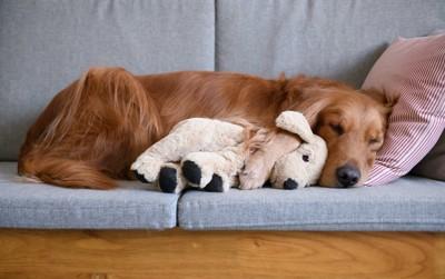 ぬいぐるみを抱きしめてソファーで眠る犬