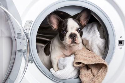洗濯機とフレンチブルドッグの子犬