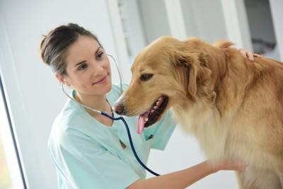 獣医師に聴診器を当てられるゴールデン・レトリーバー