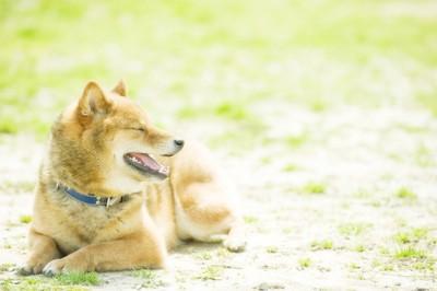 ひなたぼっこをする柴犬
