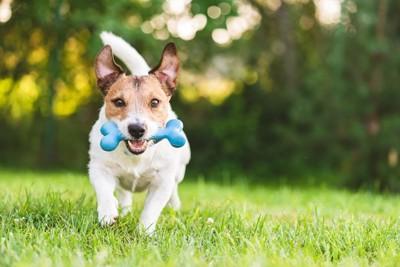 骨の形をした青いおもちゃをくわえて走る犬