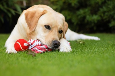 芝生の上で遊ぶラブラドール