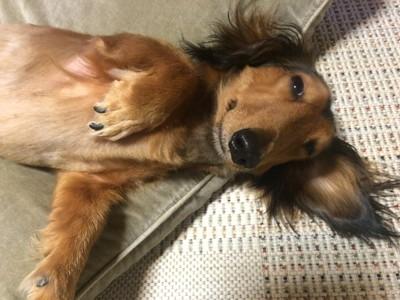 仰向けで眠そうな表情のダックスフンド