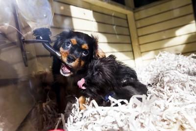 ペットショップで売られている2頭の子犬