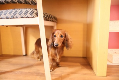 椅子の下に隠れる犬
