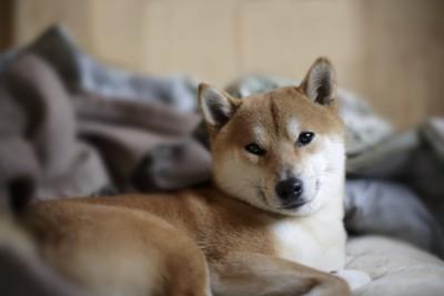 寝起きの柴犬