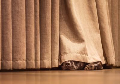 カーテンに隠れて寝る犬