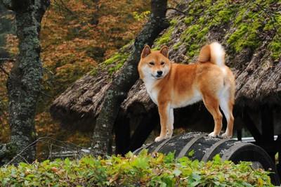 プリプリな柴犬