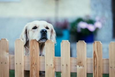 柵の上から覗く犬
