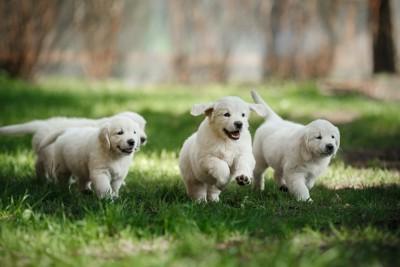 草原を走り回る子犬たち