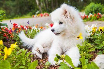 花壇の上で寝そべって休む子犬