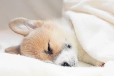 毛布をかけて眠っているコーギーの子犬