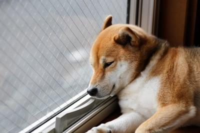 窓際で寝ている犬
