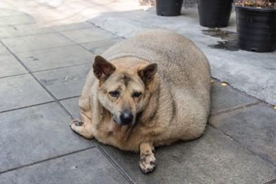 太りすぎている犬