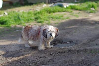 散歩中に立ち止まってこちらを見る犬
