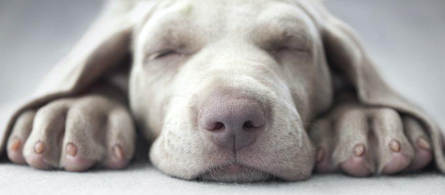 伏せて眠っている犬の顔アップ