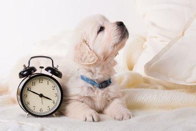 目覚まし時計と並んで伏せるゴールデンレトリバーの幼犬