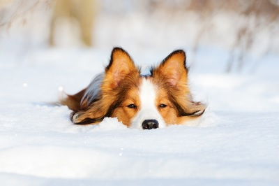雪に顔を埋める犬