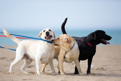 一緒に浜辺を散歩する三匹の犬
