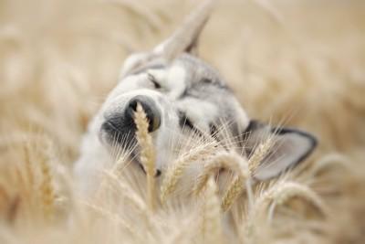 麦畑の中で目を閉じる犬