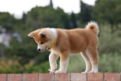 一人で遊ぶ秋田犬の子犬