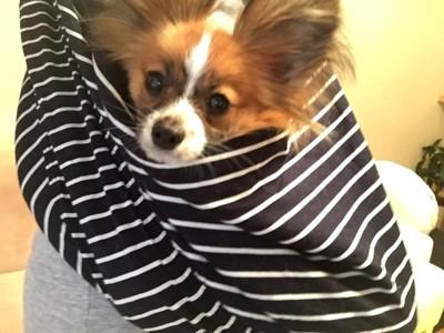 抱っこ紐で抱えられた犬