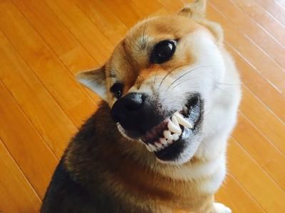 牙を見せて唸っている柴犬