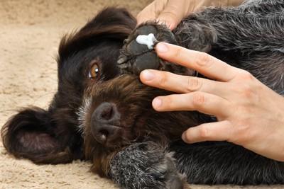 寝転んで肉球にクリームを塗られている犬