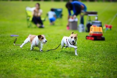 芝生の広場で走る二頭のジャックラッセルテリア