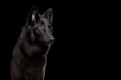 黒い背景と警戒する犬