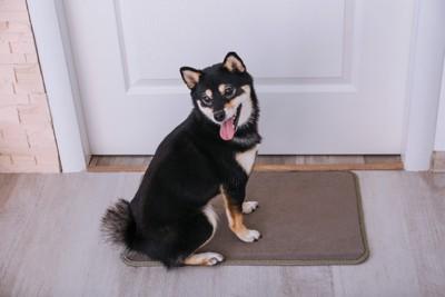 ドアの前に立つ柴犬