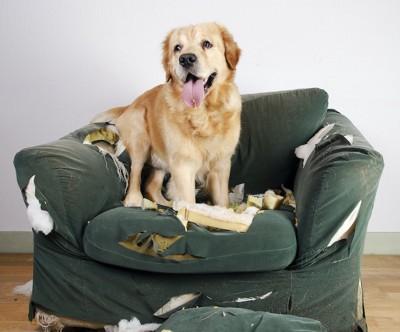 ボロボロのソファーに座るゴールデンレトリバー