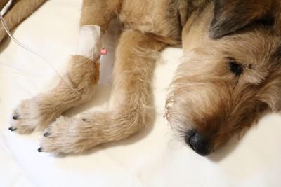 生活習慣病になり治療を受けている犬