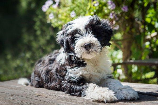 晴れた日のチベタンテリアの子犬