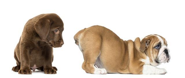 ラブラドールとブルドッグの子犬