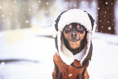 雪の中で目を閉じるチワワ