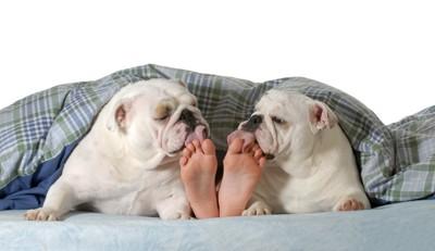 人の足を舐める二頭のブルドッグ