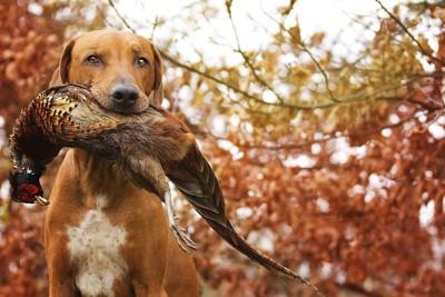 獲物をくわえている犬