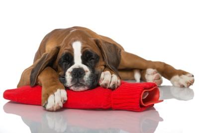 赤い湯たんぽの上で眠る犬