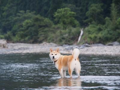 川遊び、振り返る柴犬