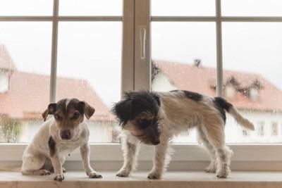 雨が降る窓辺のジャックラッセル2匹