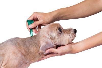 寄生虫予防の薬をつけられている犬