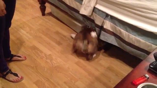 ベッドの下へ潜る犬