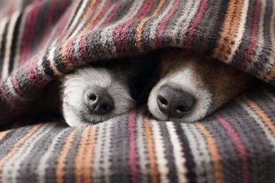 毛布から鼻を出す二匹の犬