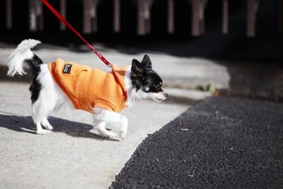 オレンジ色の犬服を着たチワワ
