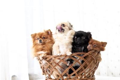 カゴに入った4匹の犬