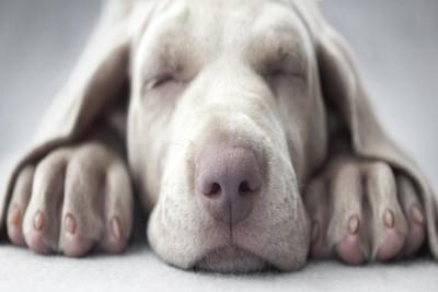 フセで寝るワイマナラーの子犬
