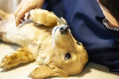 飼い主の横で寝転ぶダックスフンド
