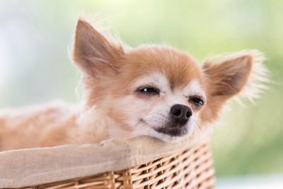 カゴの中で気持ちよさそうに眠るチワワ