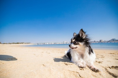 砂浜のチワワ